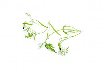 Picture of DILL KRASSE FI 15GR